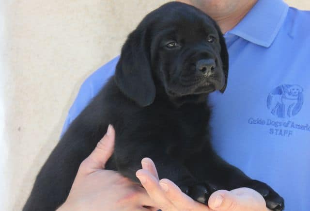 Future Guide Dog Puppy
