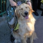 Apache Golden Retriever