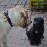 Labrador Retrievers - Yep! They're water dogs!