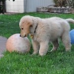 Apache A Golden Retriever Puppy