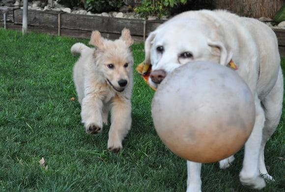 Apache golden retriever puppy