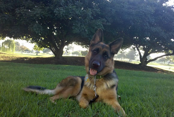 Sable the German Shepherd Dog