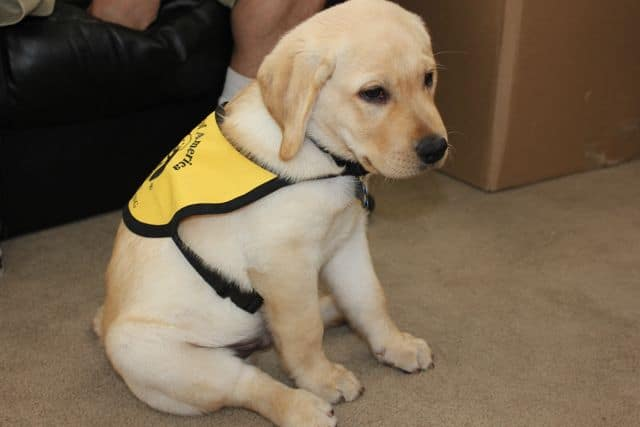 Puppy In Training Vest