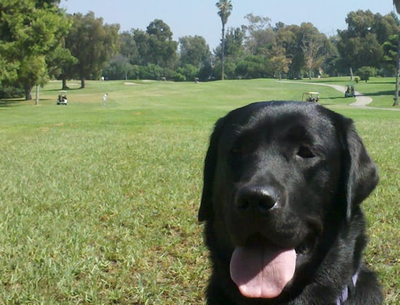 Treacle, guide dog pup and golfer!