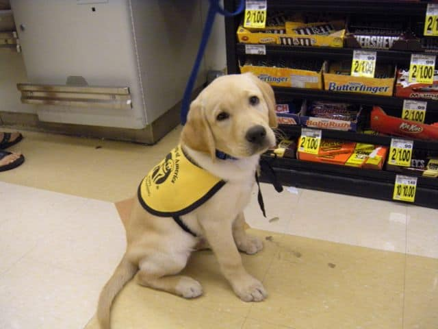 Puppy club preps guide dogs for training | the columbian.