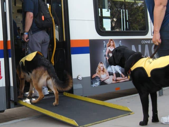 Guide dogs in training boarding the bus