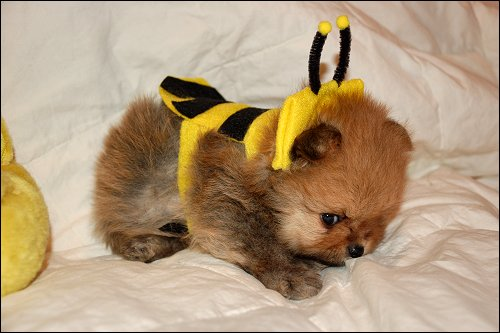 Is this the cutest little bumble bee dog costume ever?