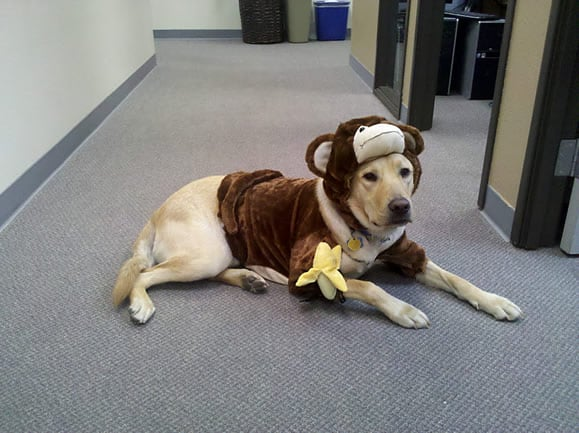Dublin in his monkey dog halloween costume