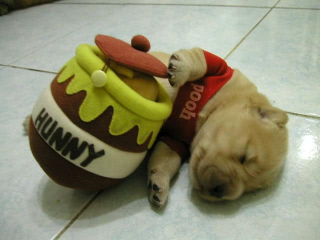 The Cutest Pooh bear dog Halloween costume ever!  EVER!!!