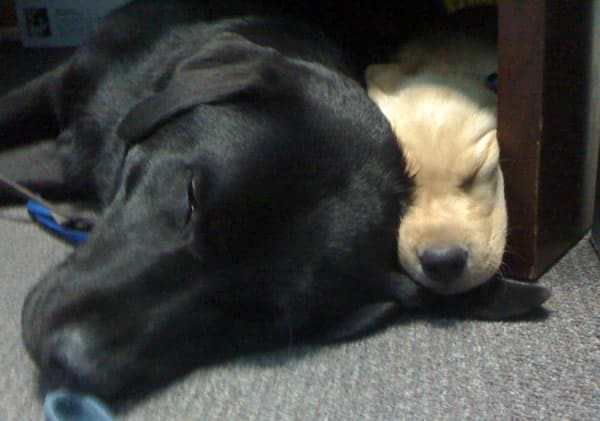 Yellow Lab Puppy with Black Lab