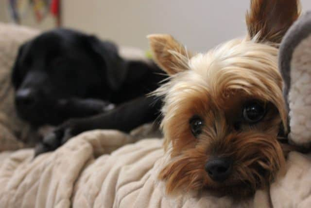 Yuki the Yorkie - Our little house guest