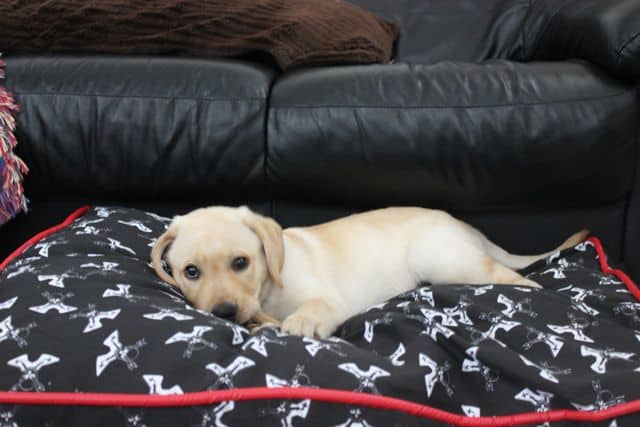 Toby PetSmart Dog Bed