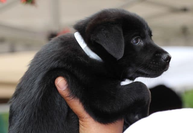 Black Lab Mix Puppy
