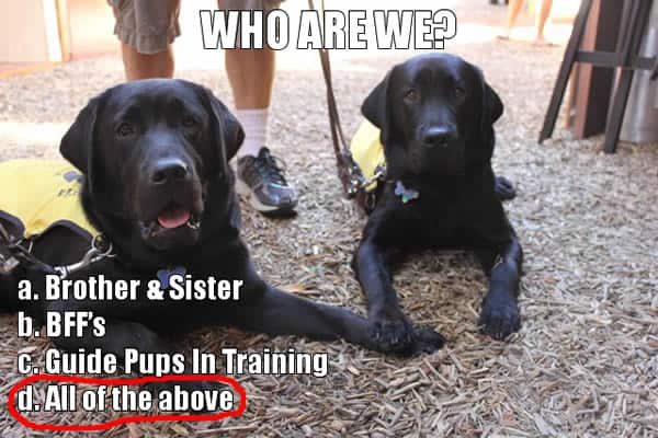 guide dog puppy raising nsw