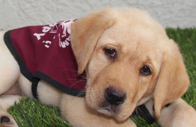 Service Dog Puppy Raiser