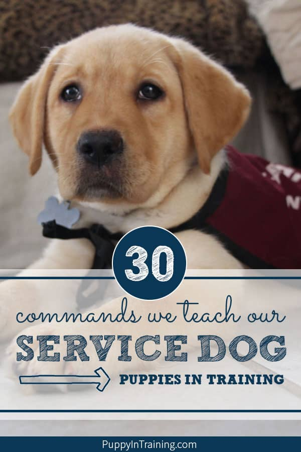 Have you ever wondered what commands do you teach a service dog? As puppy raisers we get service dogs started by teaching basic obedience, socialization and good house manners. Did I mention we teach our puppies 30+ commands. We list all the behaviors we teach our puppies in training plus a few bonus ones to boot. #servicedog #servicedogintraining #puppyintraining #assistancedogs #labradorretrievers #goldenretrievers