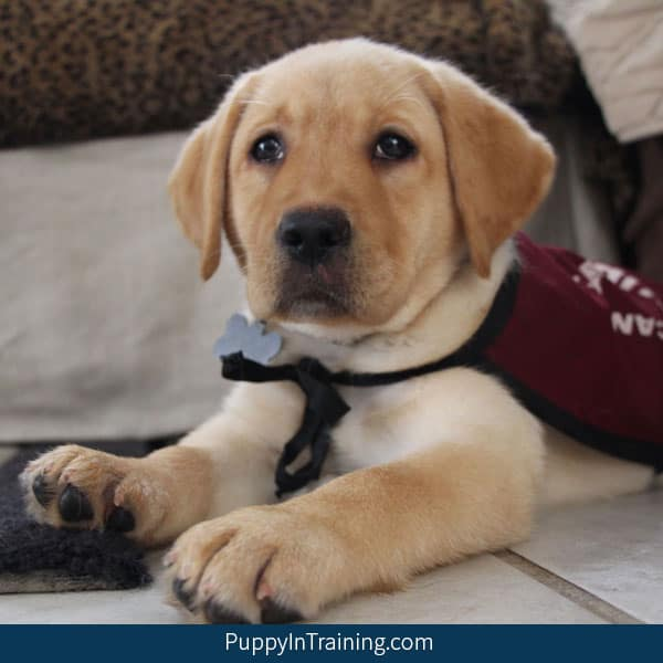 What commands dog you teach a service dog puppy in training?