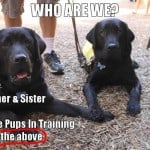 Guide Dog Puppies In Training