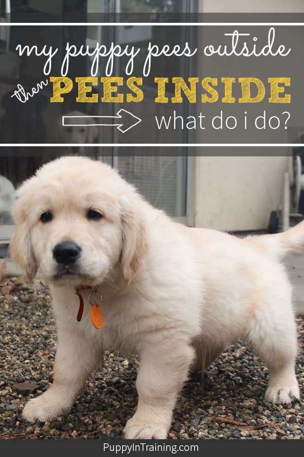 My puppy pees outside then pees inside!? What should I do? We've had dozens of puppies and when working on their potty training we've definitely been down this path. It's more common then you might think and all it takes to solve is a little bit of patience. #puppypeesoutsidetheninside #pottytrainingapuppy #housetraining #puppyaccidents #puppypottytraining #stoppeepoop #housetrainingapuppy