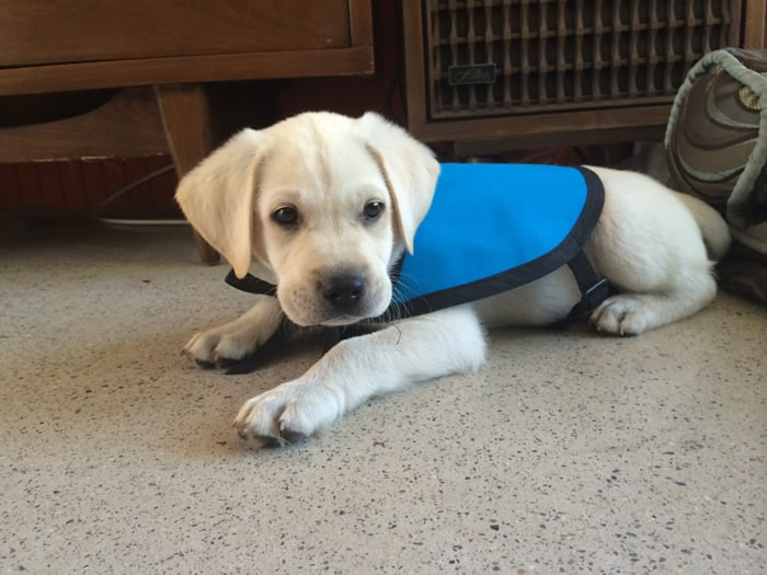 Service Dog Puppy In Training