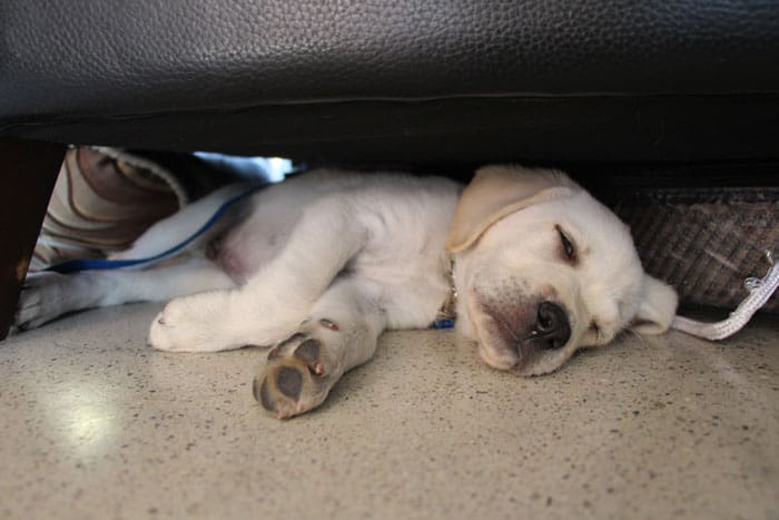 Puppy Siesta