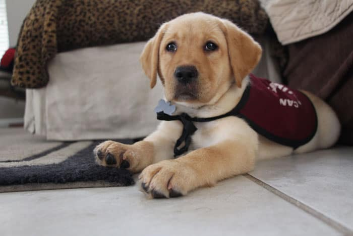 Service Dog Graduations Dont Always Go As Planned Puppy In