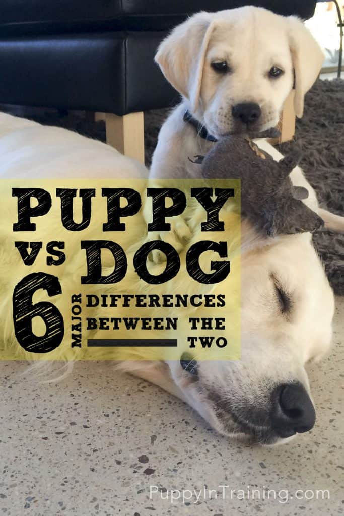 Should I Get A Puppy Or A Dog 6 Major Differences Between The Two