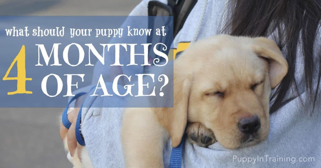 What Should Your Puppy Know At 4 Months Of Age?