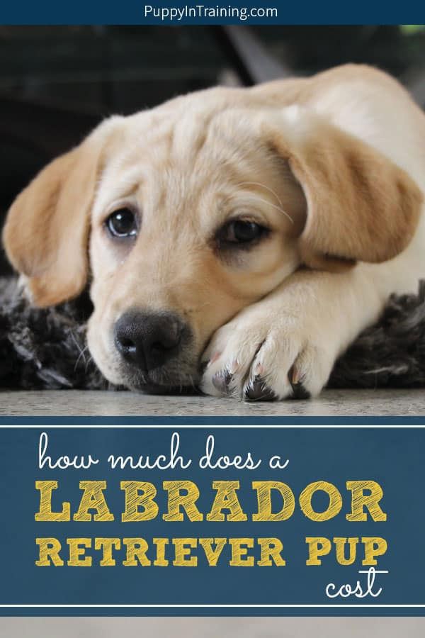 How much does a Labrador Retriever puppy cost? You're not going to like the answer…it depends. Oh and by the way, the initial expense of buying a puppy is a small amount compared to what you need to budget for a puppy for his lifetime. The answer: A Labrador puppy is not cheap. #labradorpuppycost #puppycost #costforapuppy #howmuchforapuppy #puppyexpenses #labpuppy