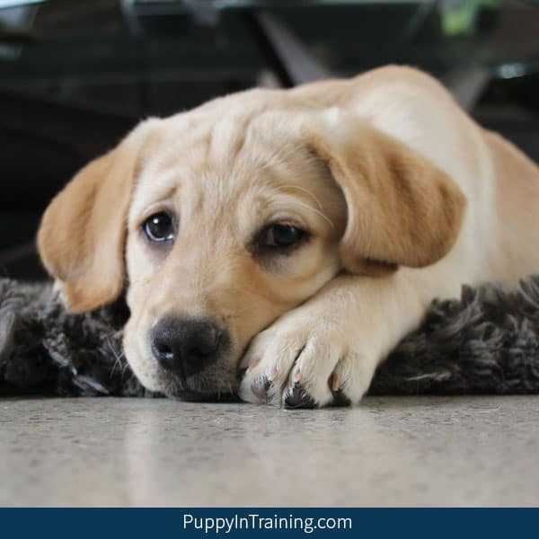 How Much Does A Labrador Retriever Puppy Cost Puppy In Training