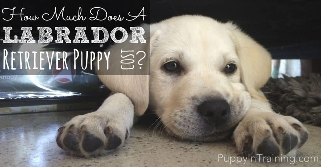 How much does a Labrador Retriever puppy cost?