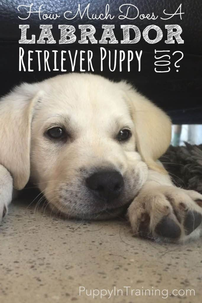 How much is a Labrador Retriever Puppy?