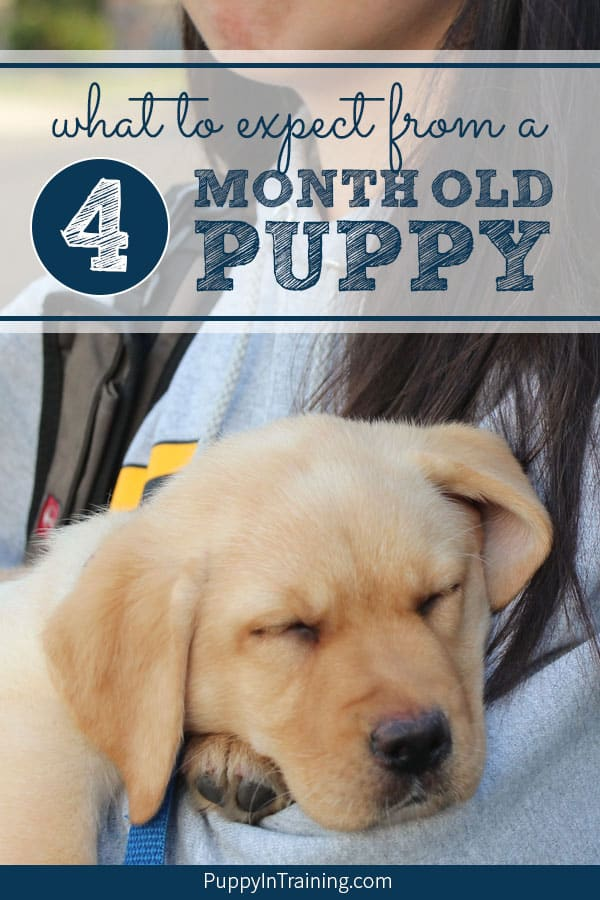Have you ever wondered what your puppy should know at 4 months of age? Let me start off by saying every puppy is different. However as puppy raisers we do set goals and hope to get our puppy's on a good schedule (for potty training) and establish good puppy behaviors. #puppytraining #4montholdpuppy #4montholdpuppybehavior #4montholdpuppyschedule #4montholdpuppytraining