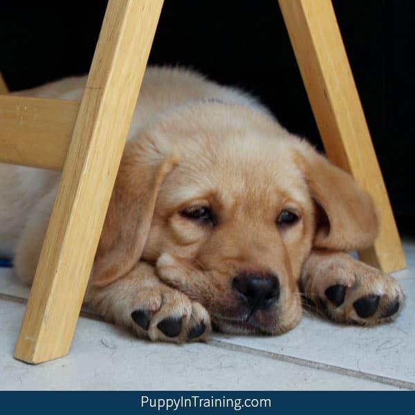 Learn how to adopt a service dog puppy