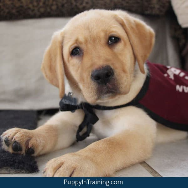 How to adopt a retired service dog or failed guide dog