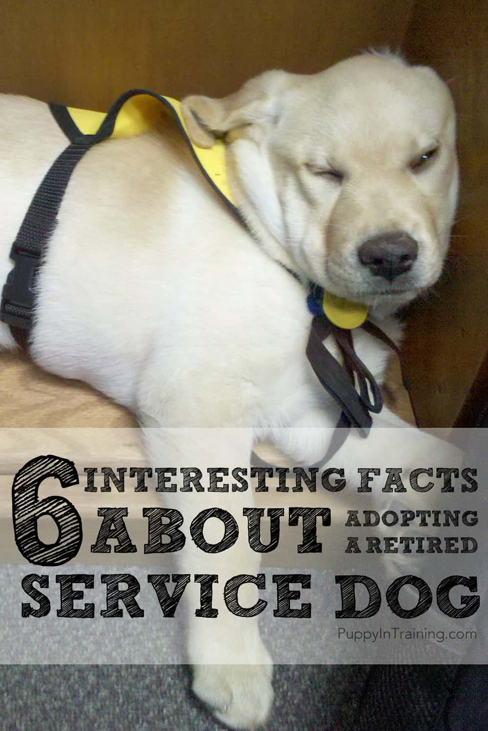 Facts about adopting a retired service dog