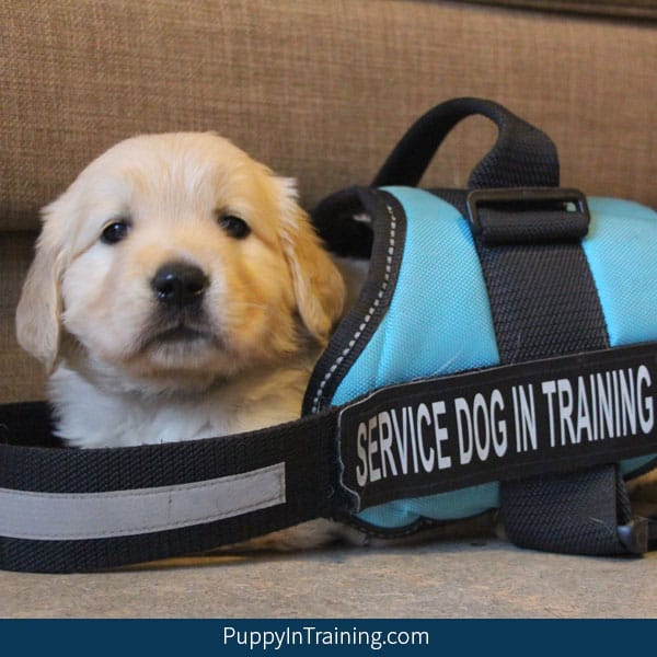 The Ultimate List Service Dog Schools With Adoption