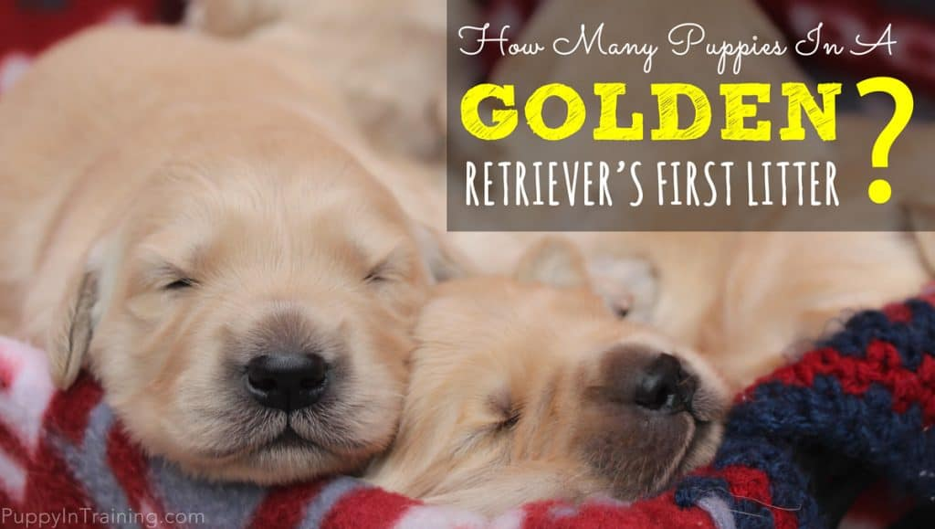 Golden Retriever Litter Size