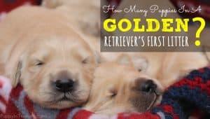 Golden Retriever Litter Size