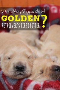 Golden Retriever's First Litter