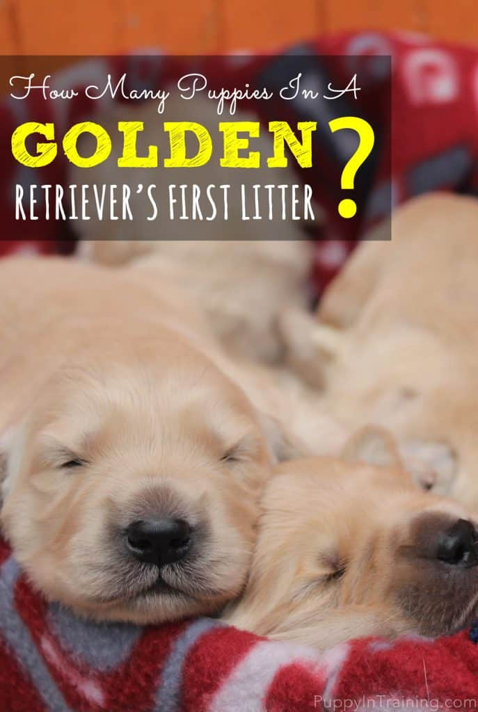 Golden Retriever First Litter Size