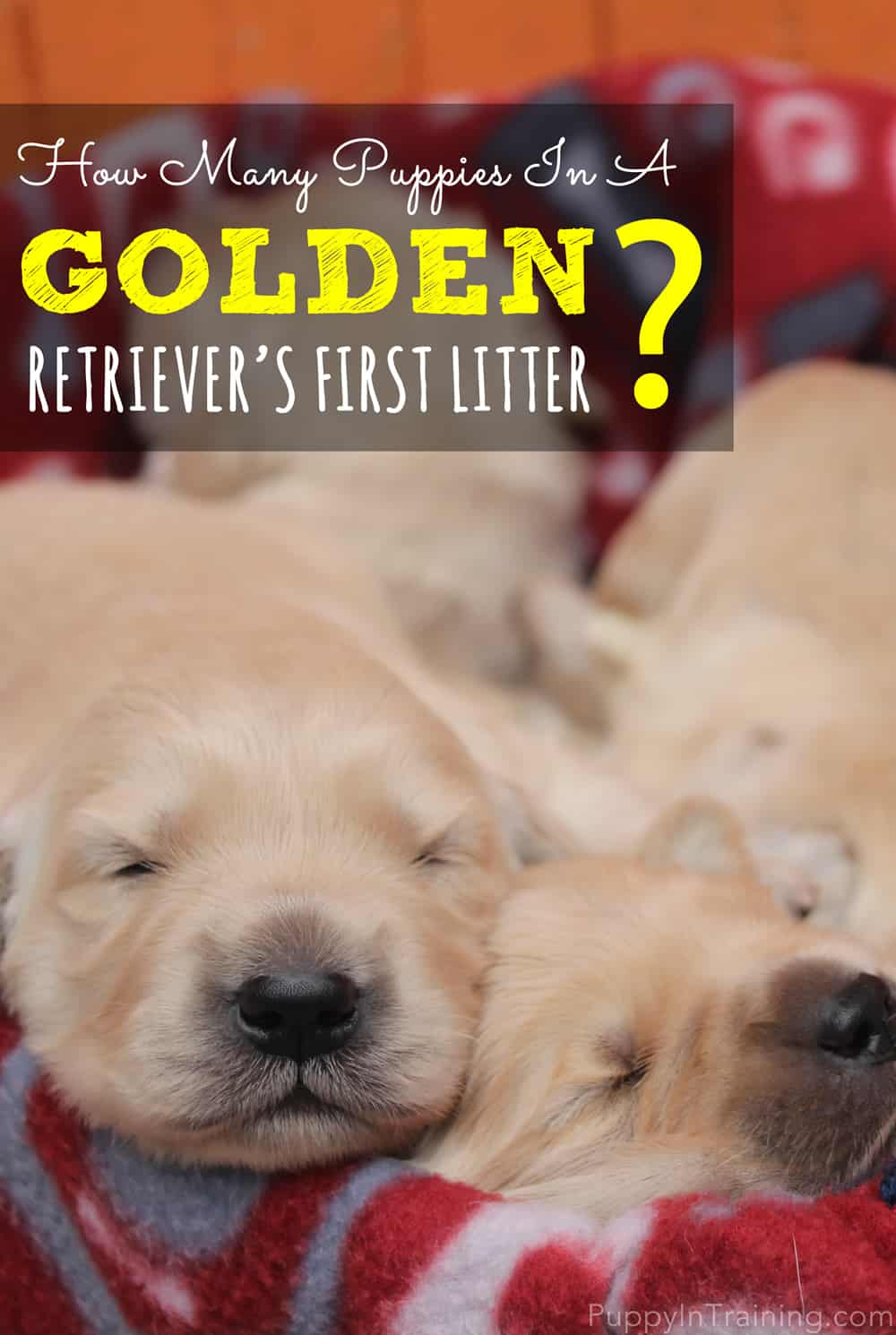 What Will Be Our Golden Retriever's First Litter Size?