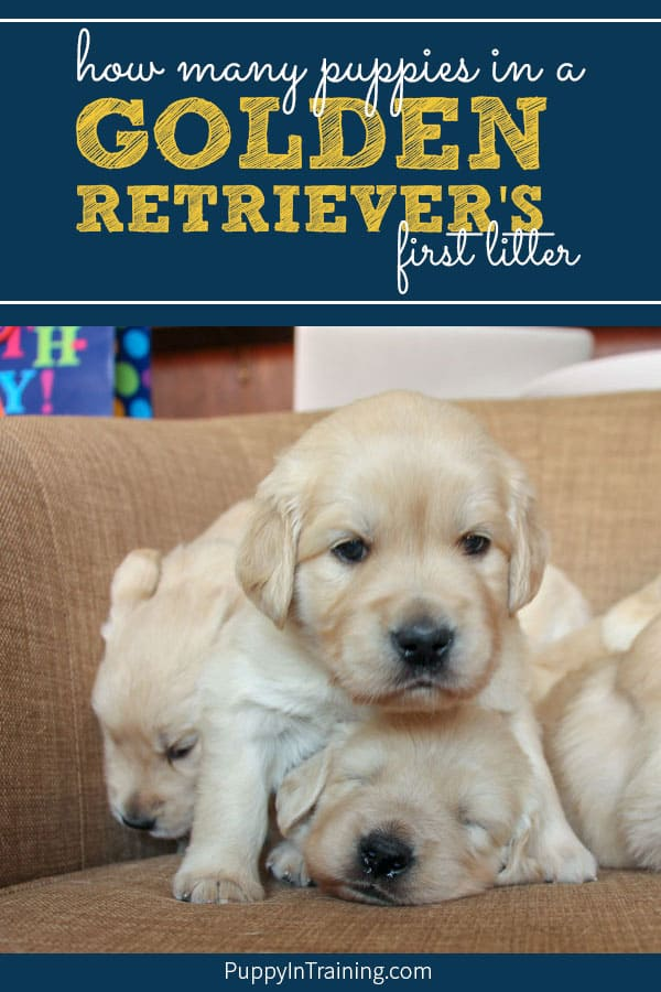 What Will Be Our Golden Retrievers First Litter Size