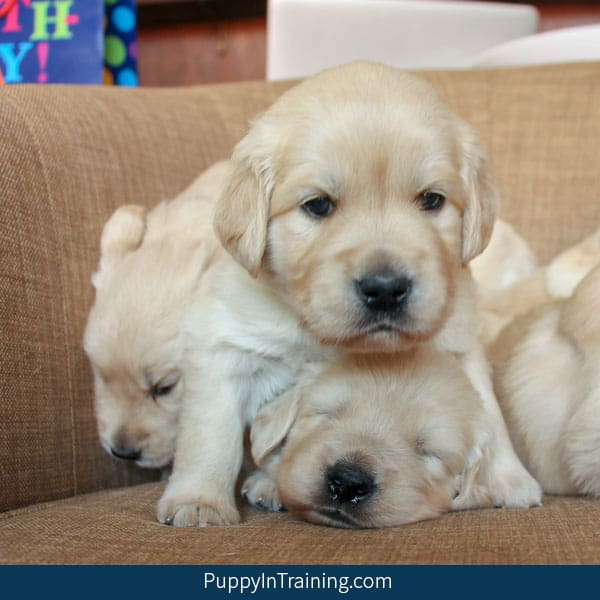 Pile up of Golden Retriever puppies.
