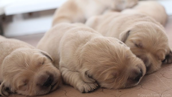3 Golden Retriever puppies less than a week old.