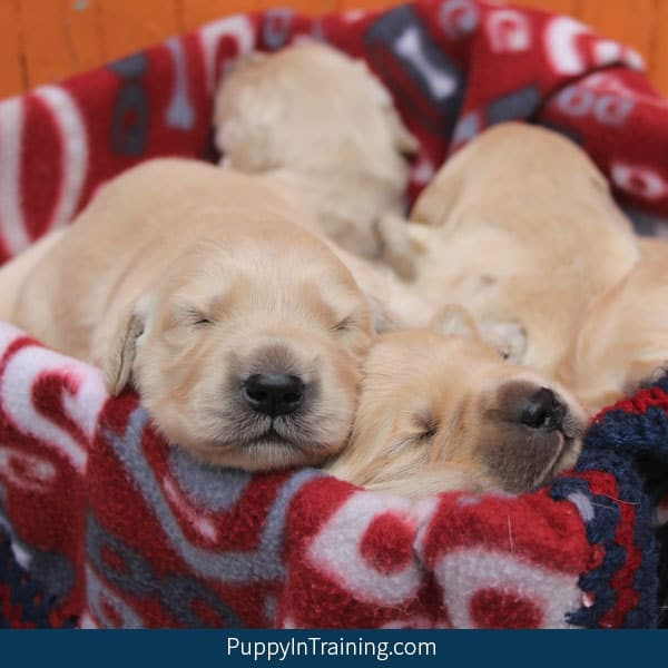 Our Golden Retriever puppies in a basket.
