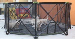 Carlson Portable Pet Pen + Puppies = Fun!