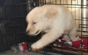 Crazy Puppy...Puppy Zoomies!