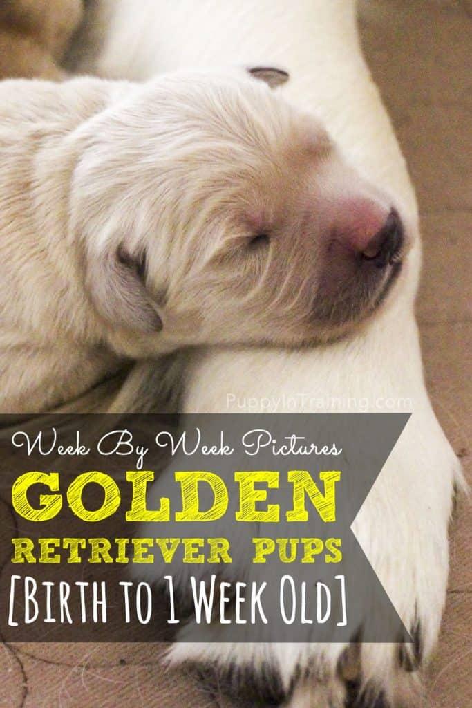 Golden Retriever Puppies Week 1