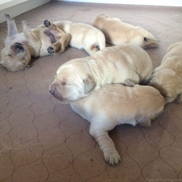 A Golden Retriever Puppy Pile!